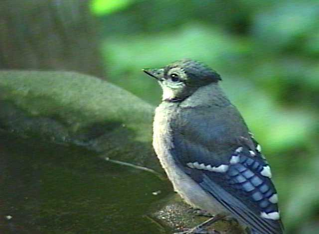 Baby Blue Jay Bird Baby Blue Jay Bird Ima...